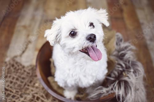 Fototapeta White Maltese dog posed on a wood background, cute friendly pet.