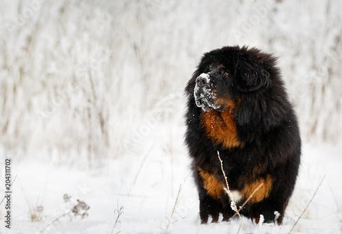 Fotografie, Tablou Beautiful dog breed Tibetan mastiff on a nature background.