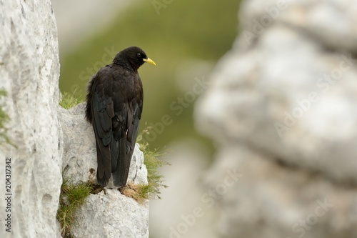 Deurstickers Alpen Pyrrhocorax graculus - Yellow-billed Chough sitting on the stone in Alps mountains