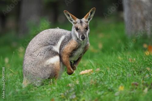 Fotobehang Kangoeroe Yellow-footed Rock Wallaby - Petrogale xanthopus - Australian kangaroo