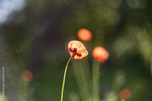 Plakat Kwiaty polne maki