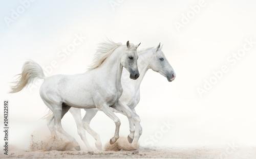 Białe ogiery biegnące galopem