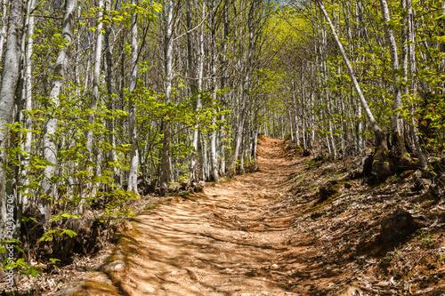 Sendero y bosque de castaños en primavera. Castanea sativa. Las Médulas. El Bierzo, León, España. © LFRabanedo