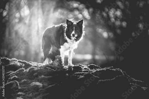 Black and White Photo of Border Collie Standing in Forest Poster