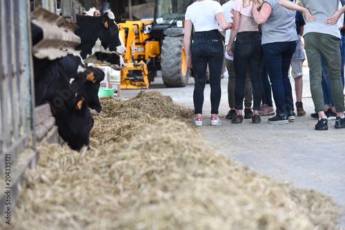La pose en embrasure Vache jeune ferme agriculture education enseignement vache
