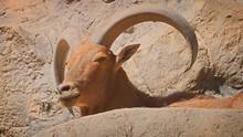Mature Mountain Goat Resting I...