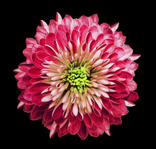 Chrysanthemum  Bright Pink. Fl...