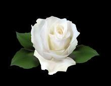 Isolated On Black White Rose Bloom With Small Green Leaves