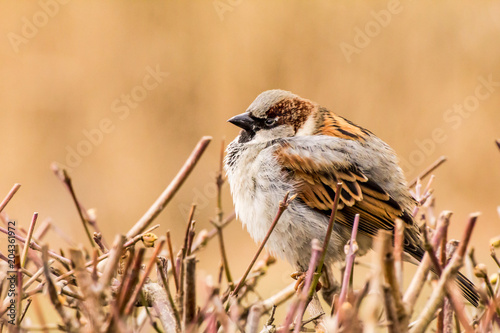 In de dag Vogel Male or female house sparrow or Passer domesticus is a bird of the sparrow family Passeridae, found in most parts of the world