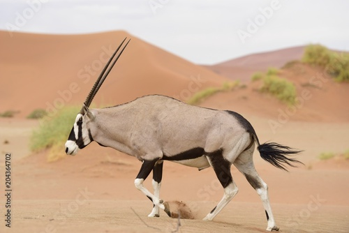 Foto op Canvas Antilope Oryx Antilope in Namibia