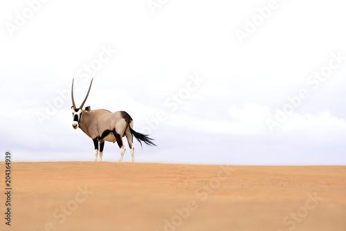 Valokuva  Oryx Antilope in Namibia
