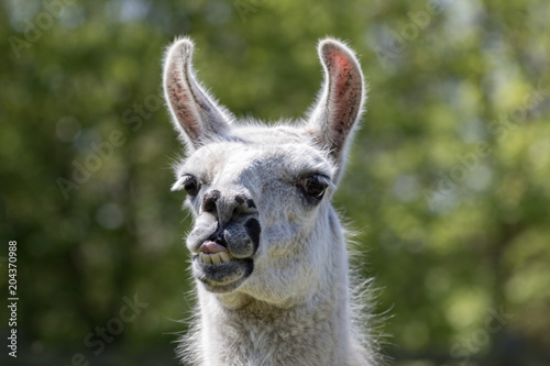 Photo  Goofy lama pulling face. Funny llama animal sticking tongue out