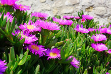 Carpobrotus Succulent Plant With Pink Flowers