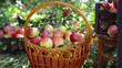 Closeup basket and man harvest of apples in the garden