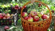 Closeup basket and man harvest of apples