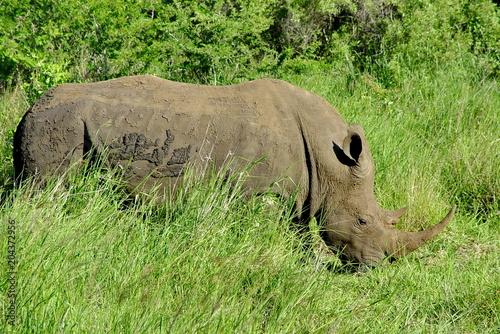 Deurstickers Neushoorn Nashorn - Rhino