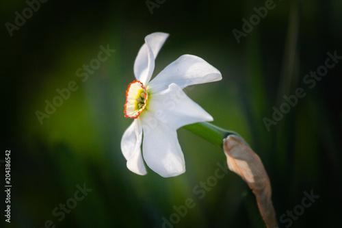 Papiers peints Narcisse white flower narcissus in a garden