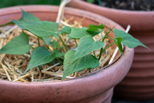 Pflanze Der Süsskartoffel