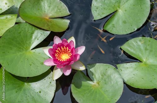 Foto op Canvas Waterlelies ピンク色のスイレンの花