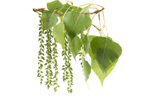 A Branch Of A Poplar With Gree...