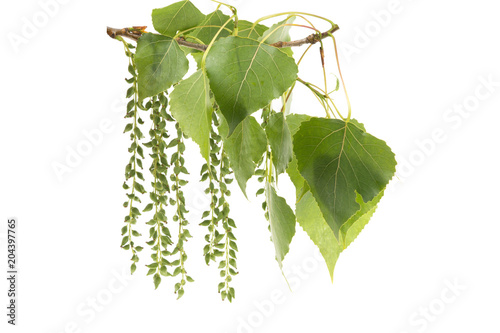 a branch of a poplar with green leaves on a white background Canvas Print