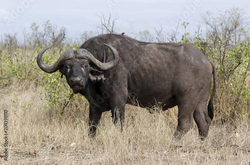 Keuken foto achterwand Buffel Buffle d'Afrique, Syncerus caffer, African buffalo, Parc national Kruger, Afrique du Sud