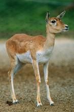 Antilope Cervicapra - Antilope Cervicapra