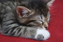 Common Gray Kitten Sleeping Isolated On The Gray Table Over Red Blanket