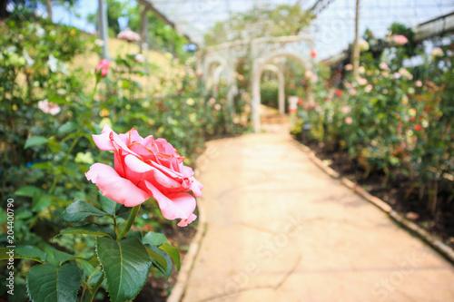 Fotobehang Tuin Beautiful fresh natural pink roses in flower garden