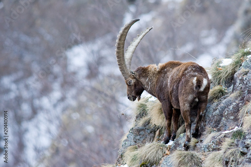Capra Ibex - Stambecco Fototapet