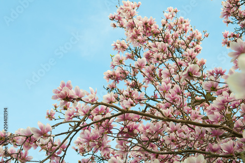 Tuinposter Magnolia Branches of magnolia in full bloom against a blue sky
