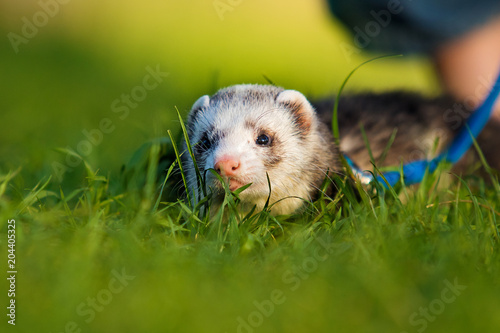 ferret in the grass Billede på lærred