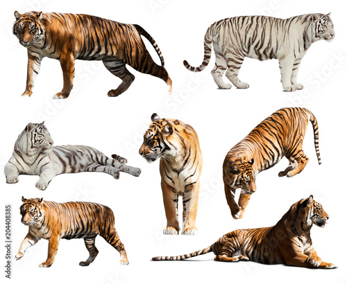 set of tigers. Isolated  over white