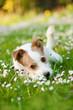 Liegender Terriermischling liegt in einer Frühlingswiese
