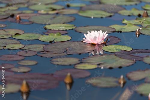 In de dag Waterlelies Weiße Seerose im Biotop