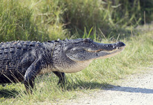 Large Alligator Walking