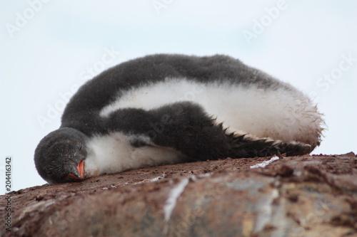 Spoed Foto op Canvas Antarctica Eselspinguin-Antarktis