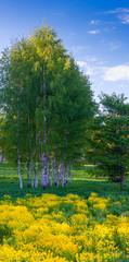 Fototapeta Brzoza silver birches