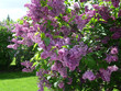 Branch of a blossoming lilac in the garden