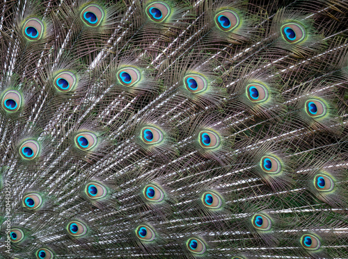 Tuinposter Pauw Peacock feathers