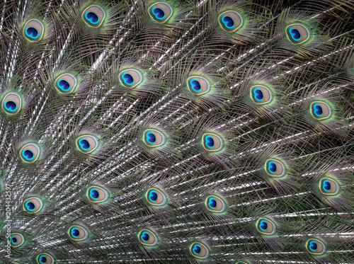 Keuken foto achterwand Pauw Peacock feathers