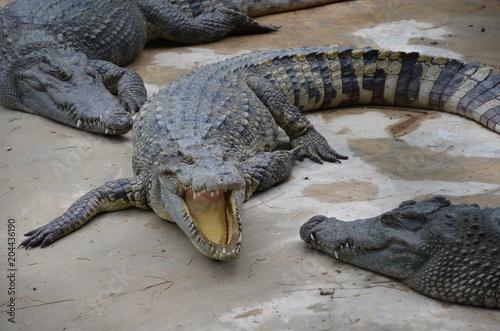Foto op Plexiglas Krokodil crocodiles