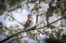 Chaffinch Singing Among Cherry...