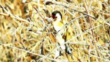 European Goldfinch Feeding On ...