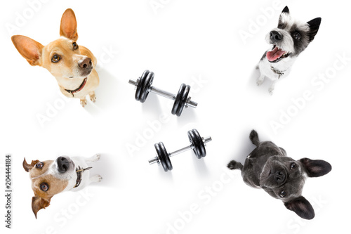 Foto op Canvas Crazy dog couple of dogs with dumbbells
