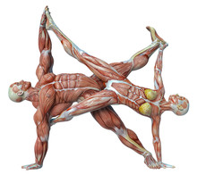 Muscle Couple Man And Woman Yoga Anatomy In An White Background