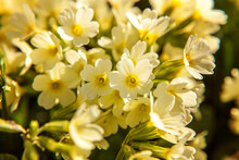 Primrose - Primula Vulgaris Small Plant With Yellow Flowers Among Rocks Leaf Litter In The Spring Or Summer Garden