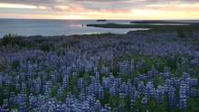 Lupin Field Next To The Ocean And Midnight Sun. Husavik, Iceland