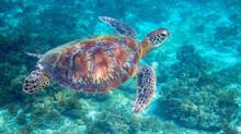 Sea Turtle In Tropical Lagoon....