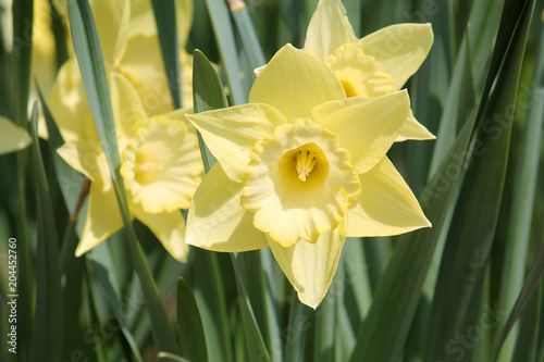 Deurstickers Narcis Yellow Large-cupped daffodil on flower bed